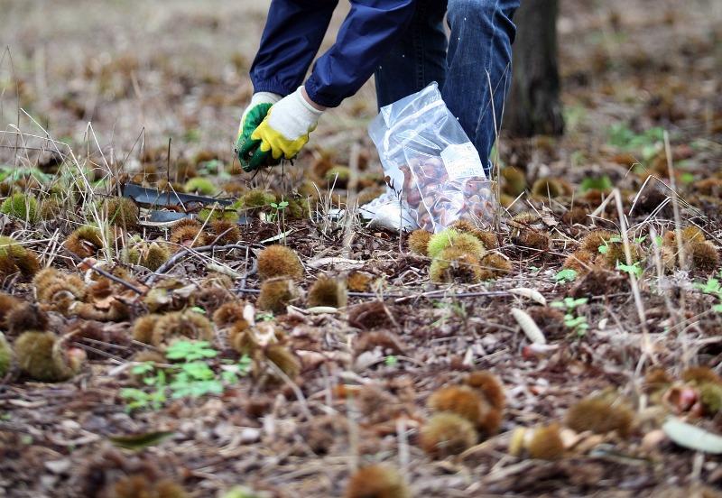 Recolección de castañas en la Sierra de Aracena