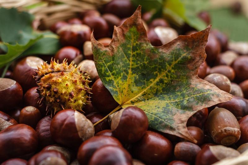 El castañar de la Sierra de Aracena en otoño